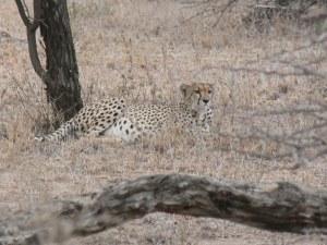 Cheetah Tired